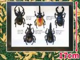 標本風昆虫フィギュア5Pセット